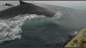Whales Next To Hobie Kayak