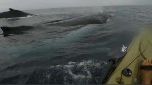Whale Next To A Hobie Kayak